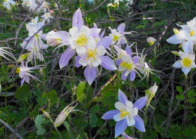 Columbine Flowers at the Lodge