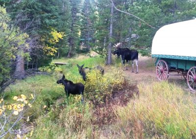 Moose By Wagon Camp
