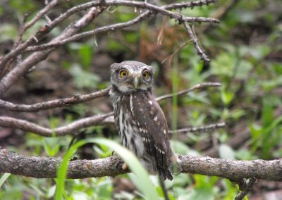 Pigmy Owl at the Louis Lake Lodge